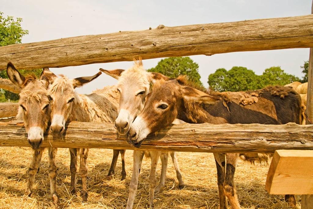 Junge Esel auf der Farm Dar Mar