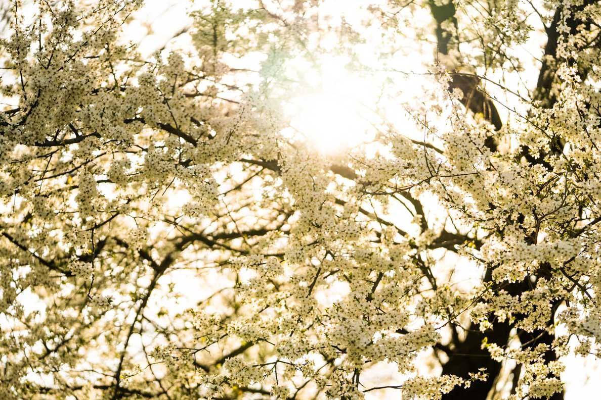 Ein blühender Baum im Herzen von Wien