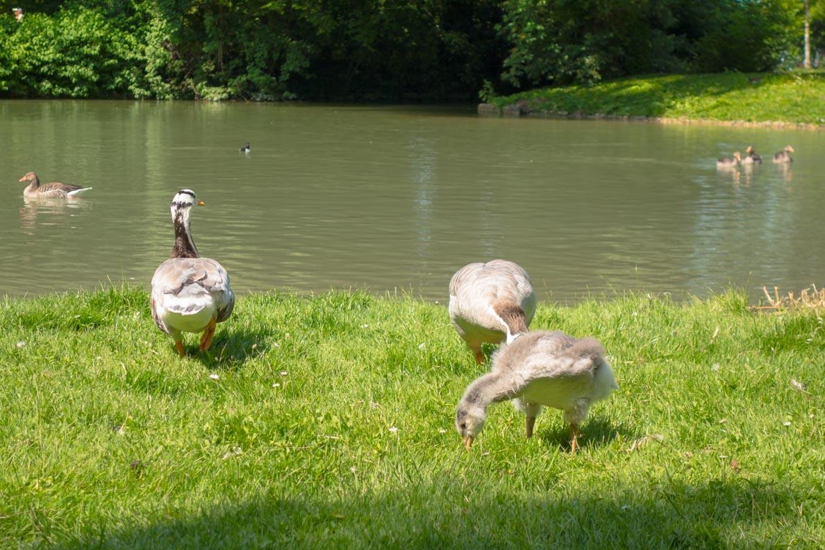 Gänse im Englischen Garten in München