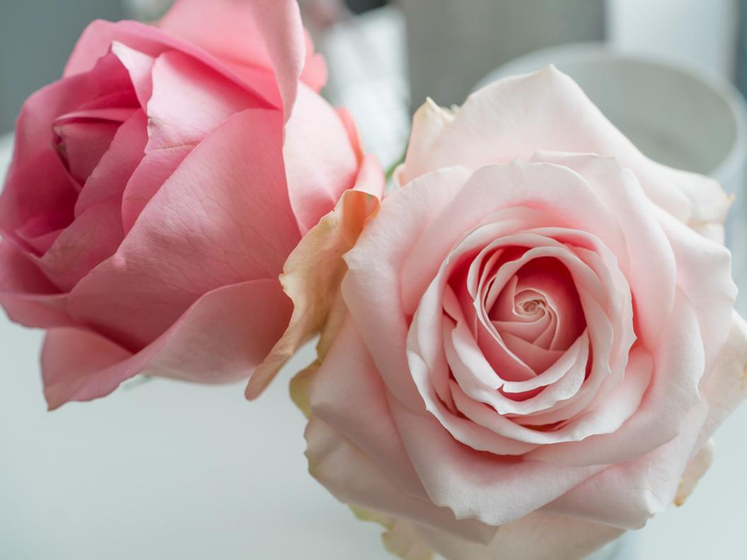 Zwei pinke Rosen in RetroCats Wohnung