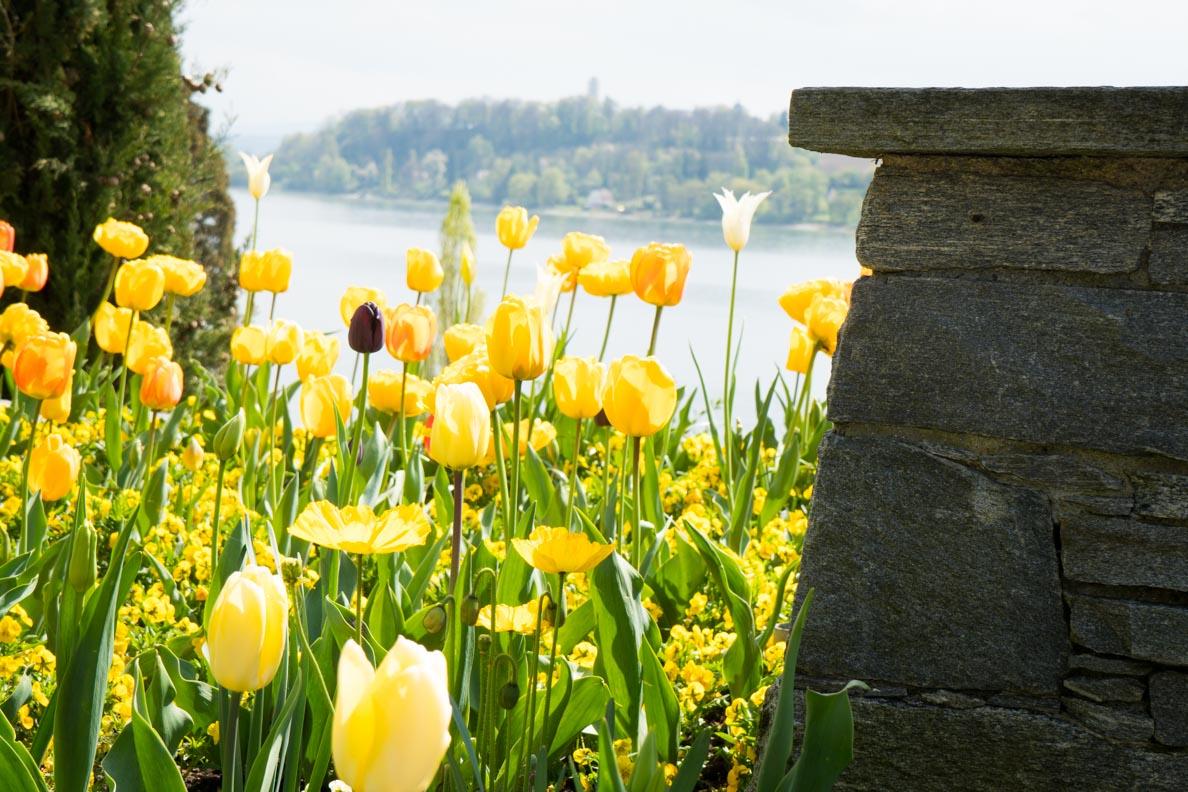 Gelbe Tulpen mit dem Bodensee im Hintergrund