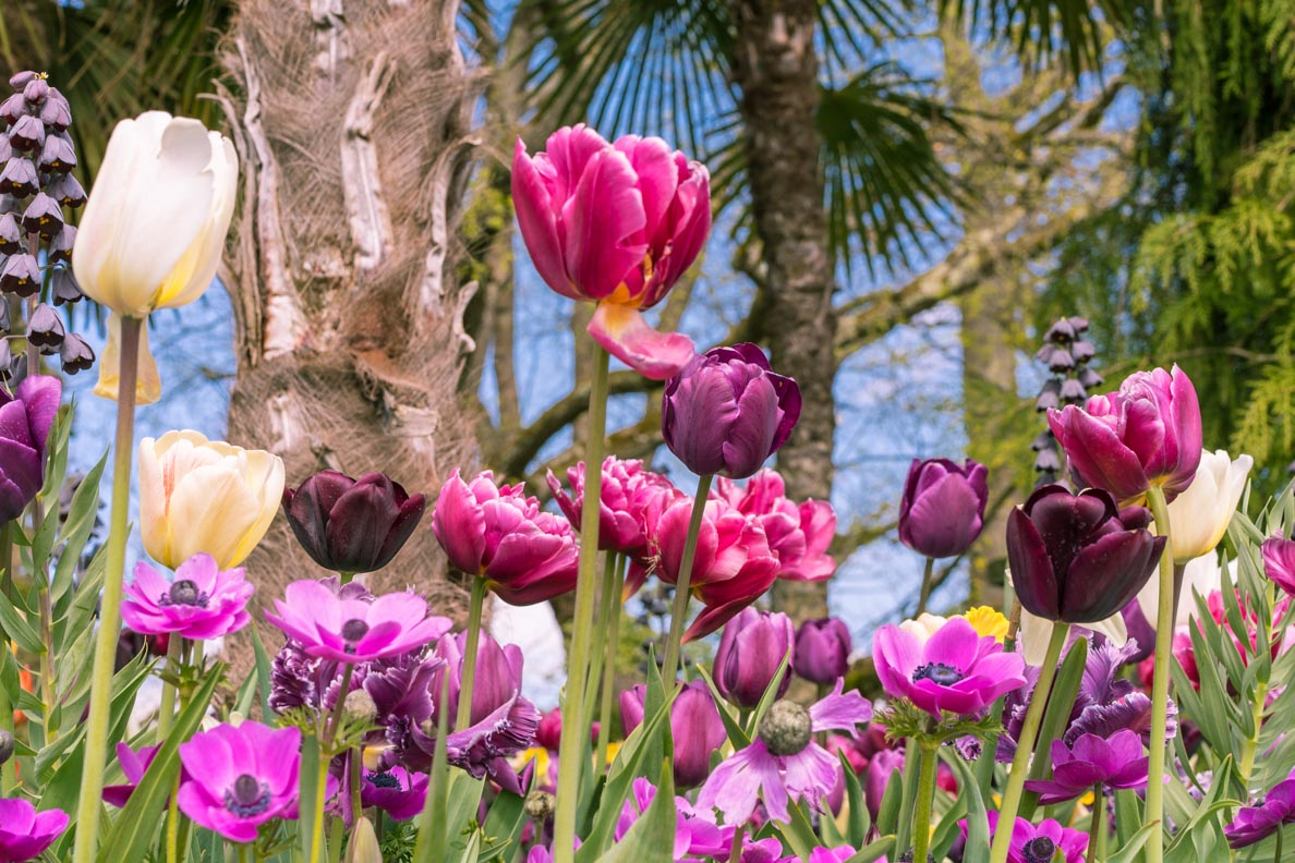 Lila Tulpen auf der Blumeninsel Mainau
