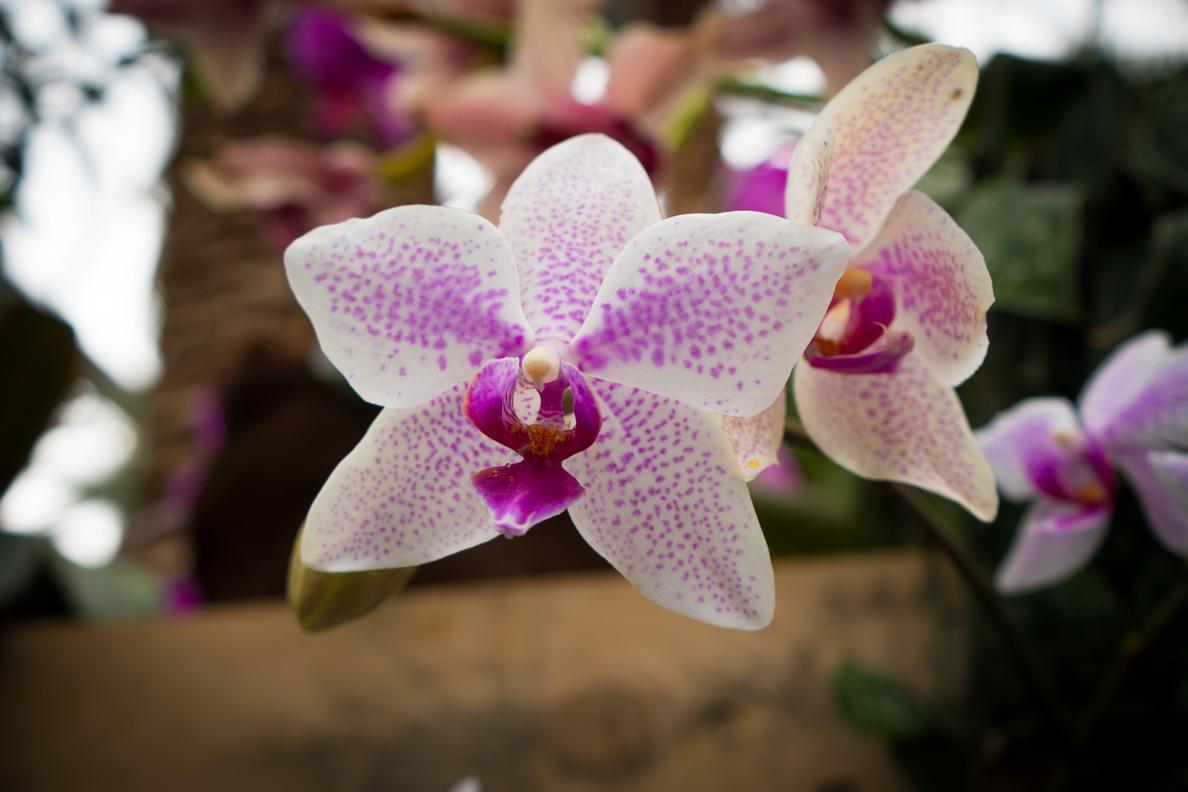 Orchideen im Palmenhaus der Insel Mainau