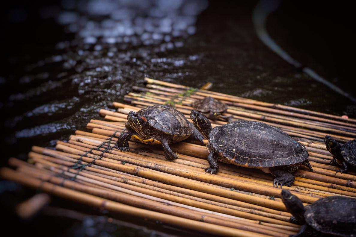Schildkröten im Schmetterlingshaus auf der Blumeninsel Mainau