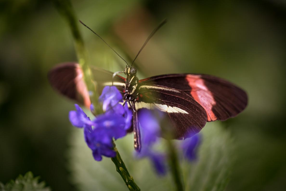 Ein Schmetterling verrichtet seine Arbeit im Schmetterlingshaus auf der Insel Mainau