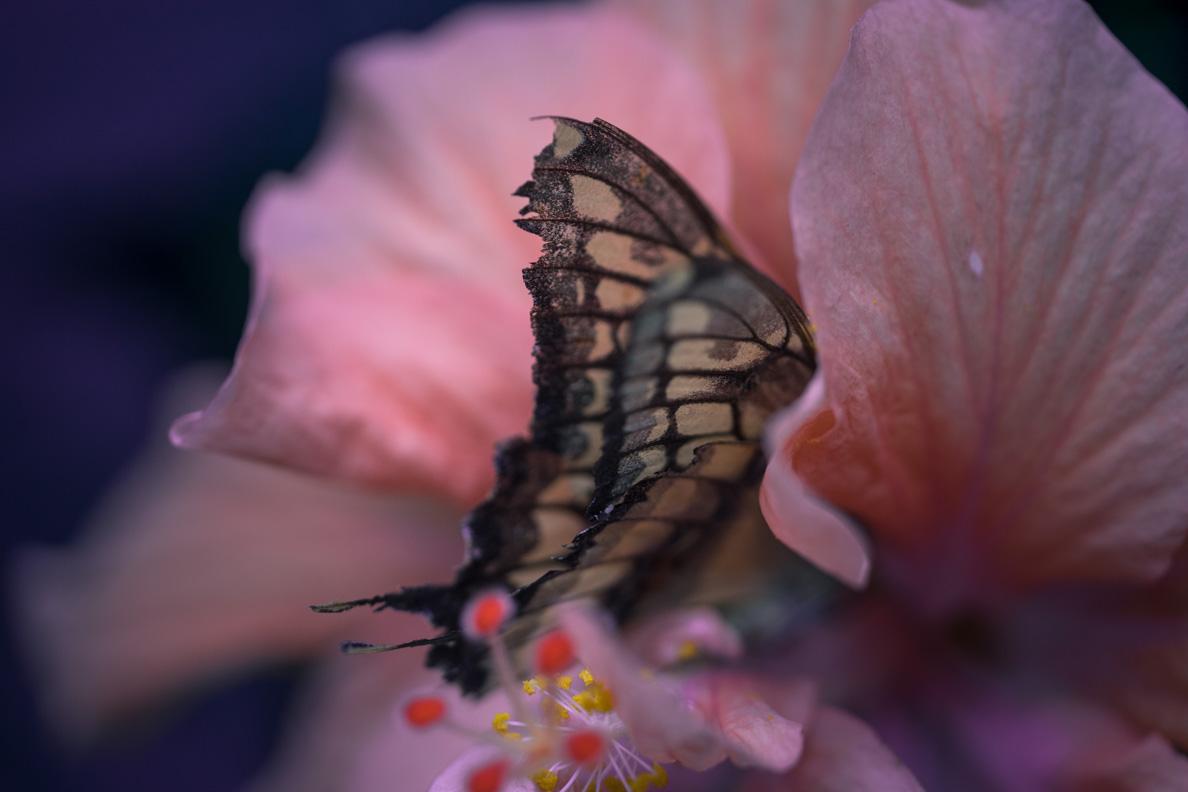 Ein Schmetterling auf einer rosa Blume