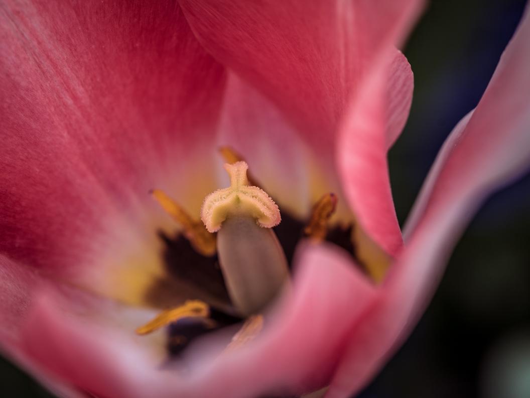 Eine Tulpe auf der Insel Mainau in der Detailansicht