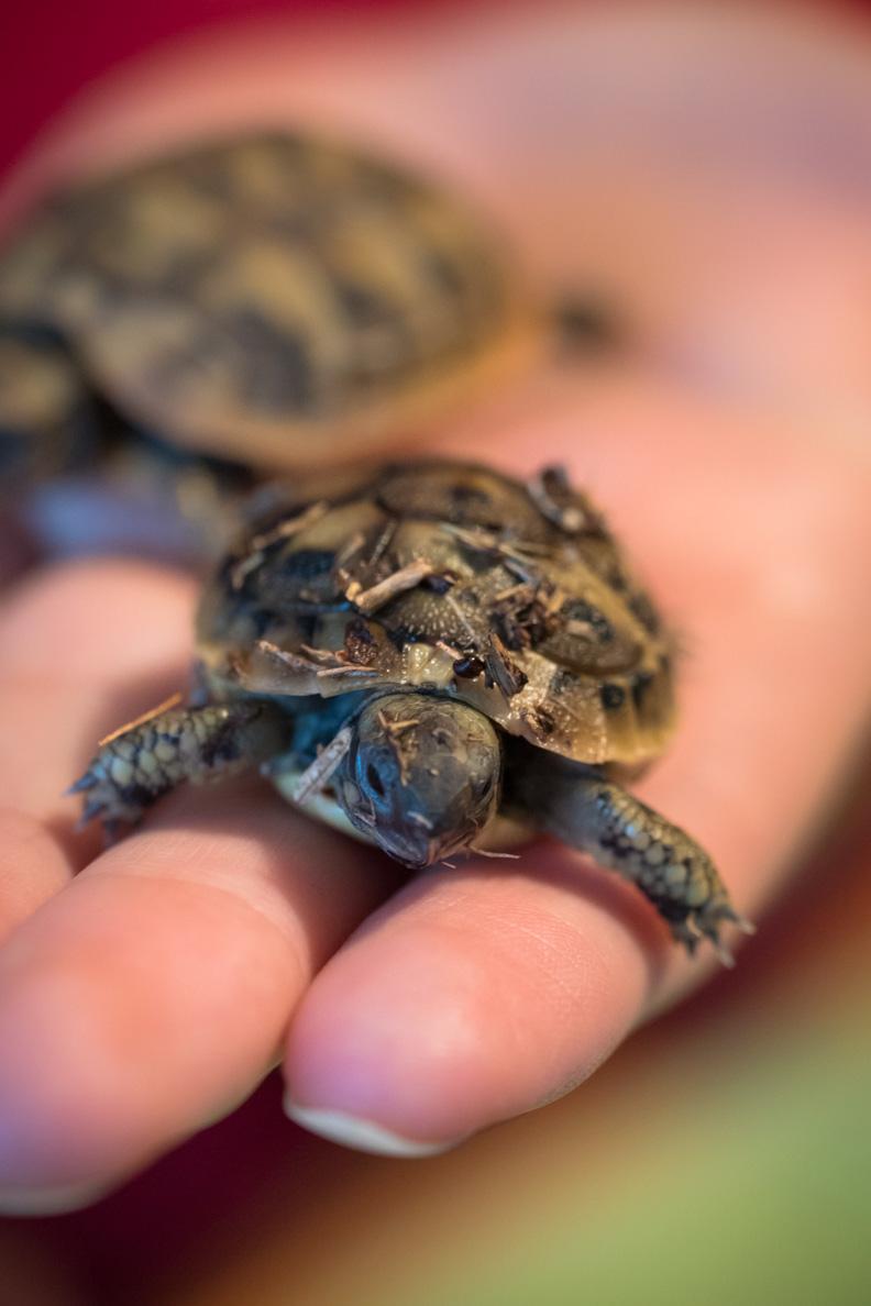 Eine Baby-Schildkröte aus Kroatien