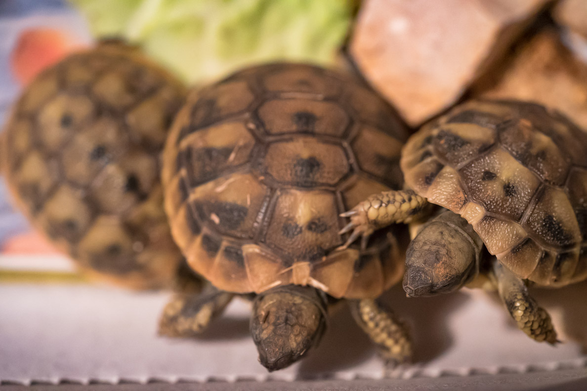 Drei kleine griechische Landschildkröten