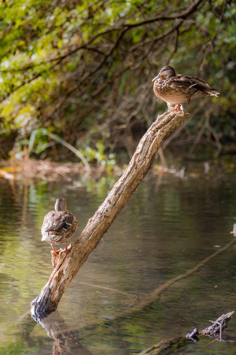 Enten im Nationalpark Krka in Kroatien