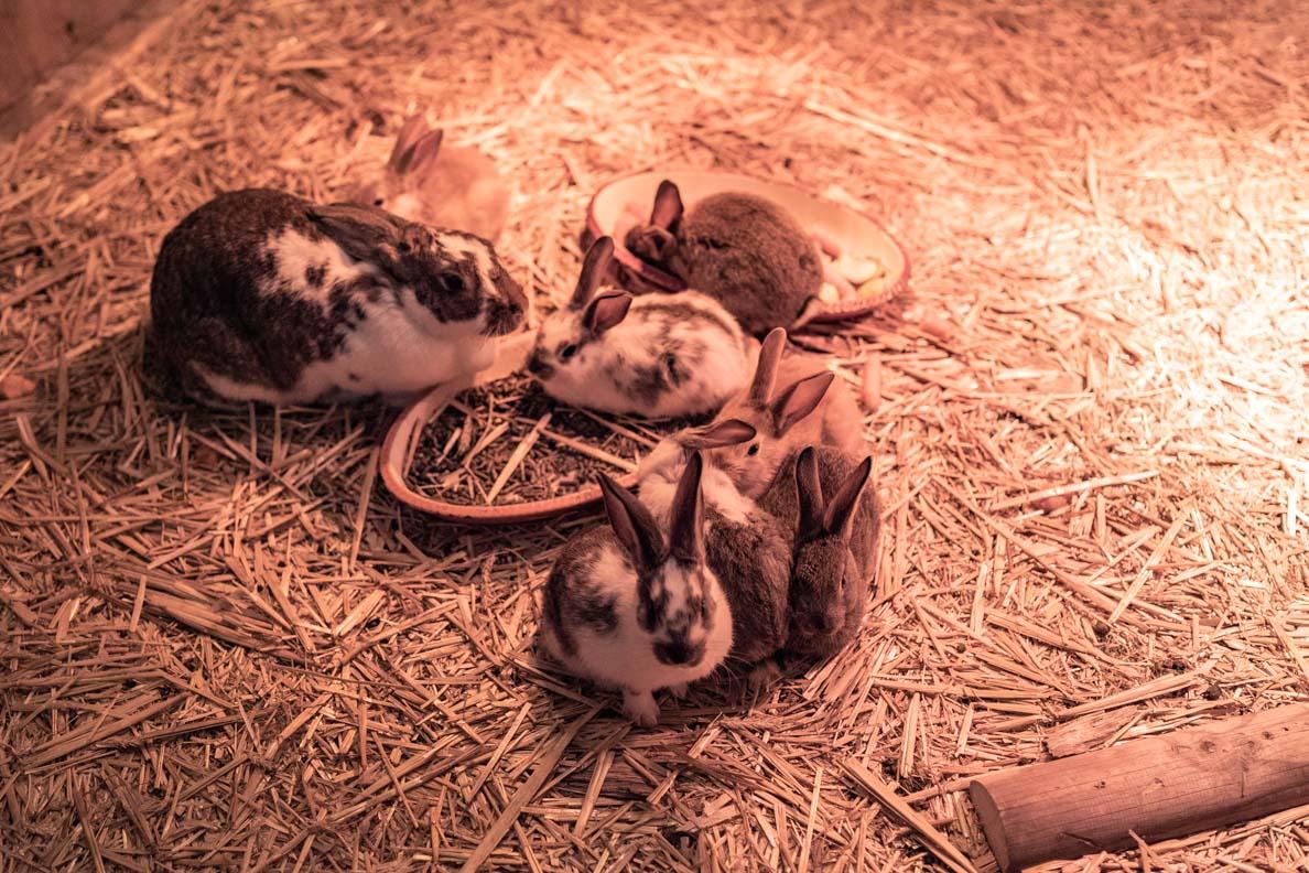Hasen auf dem Rochers de Naye