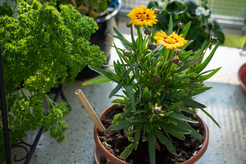 Bienenfreundliche Blumen auf dem Balkon