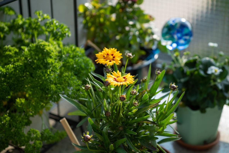Unterschiedliche, bienenfreundliche Pflanzen und Blumen auf dem Balkon