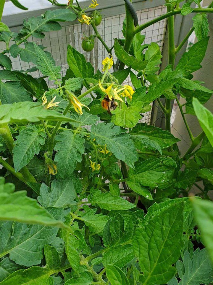 Eine Hummel an den Blüten einer Tomatenpflanze