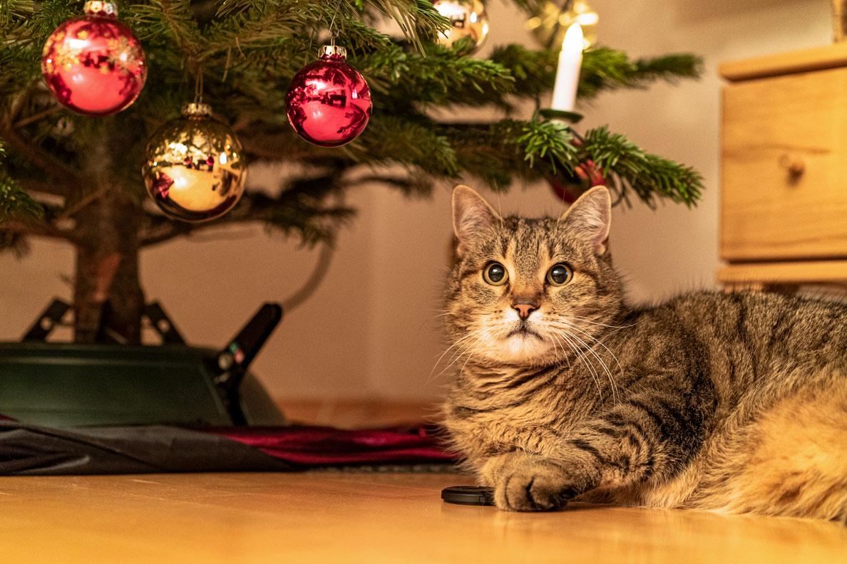 Ein wohlgenährter Kater unter einem Weihnachtsbaum