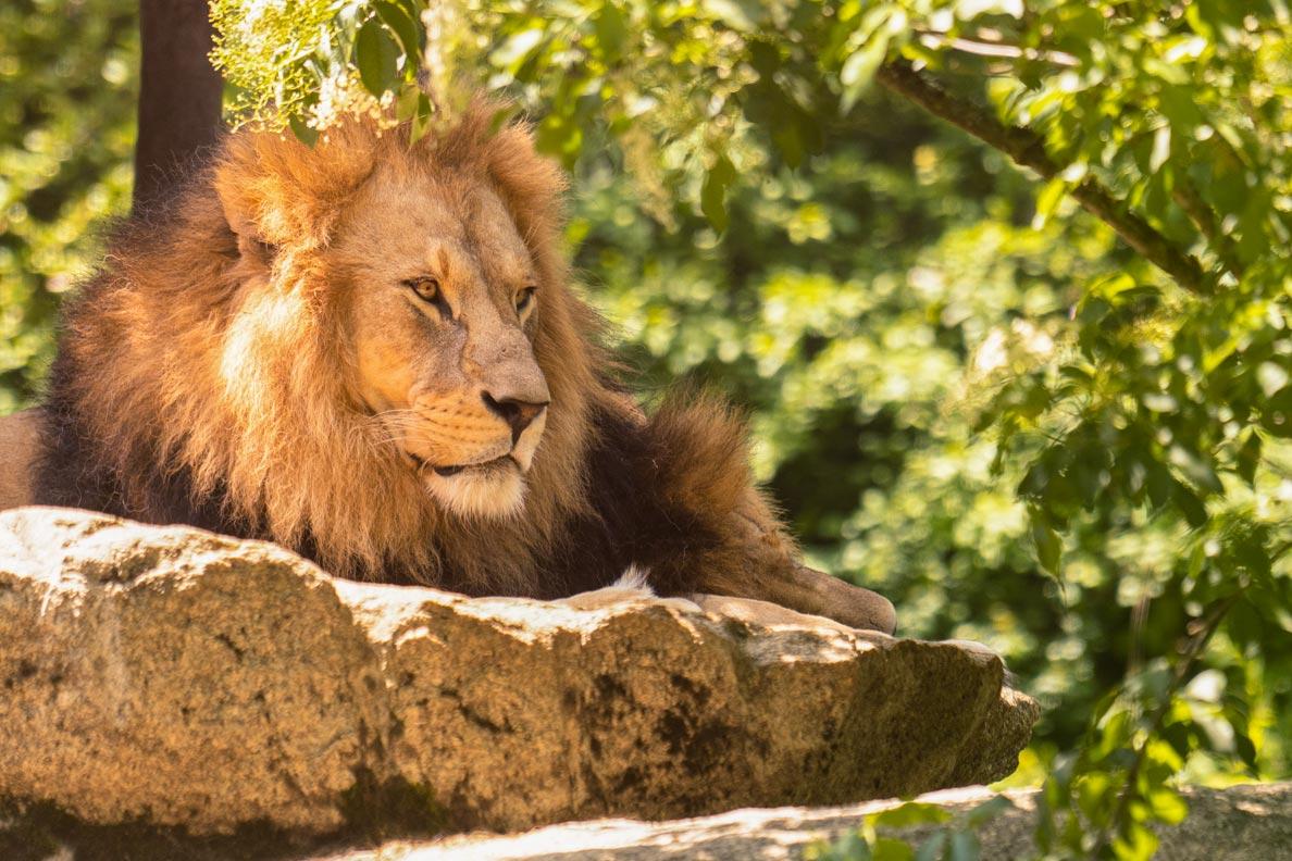 Ein fauler Löwe auf einem Stein