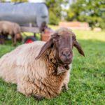 Ein heimisches Schaf aus Oberbayern auf der Weide