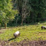 Heimische Schweine auf dem Feld im Museum Glentleiten