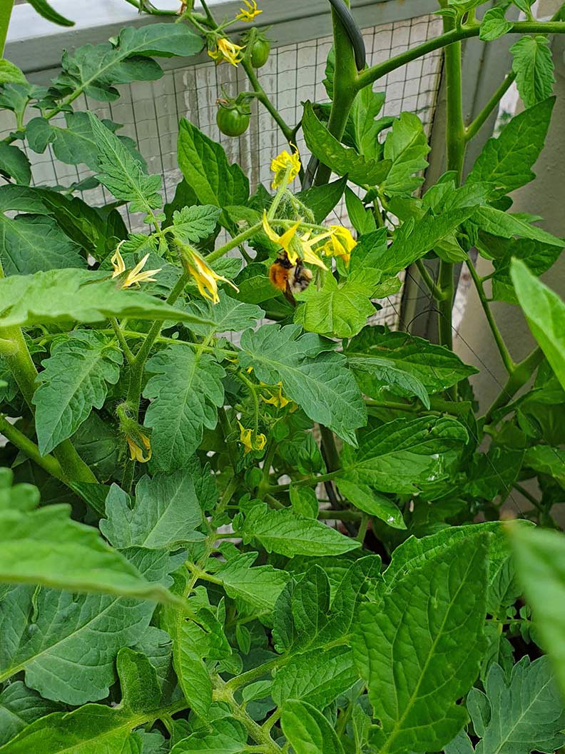 RetroCats Tomatenpflanzen auf ihrem Balkon