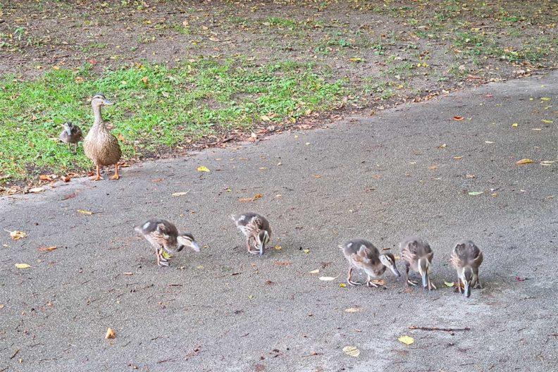 RetroCats week: Small ducks in a park in Munich
