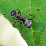 Insektenfreundlicher Balkon: Eine Ameise auf einem Blatt