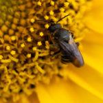 Eine Wildbiene auf einer Sonnenblume