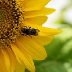 Eine Biene auf einer Sonnenblume auf einem Stadtbalkon