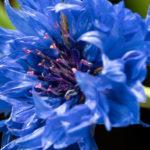 Die Blüte einer Kornblume ist bei Bienen beliebt