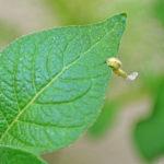 Eine Larve frisst eine Blattlaus