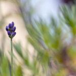 Eine Lavendelblüte: Ideal für Bienen und Schmetterlinge