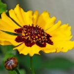 Bienenfreundliche Blüten: Das Mädchenauge