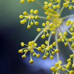 Kleine Blütenknospen eine bienenfreundlichen Pflanze