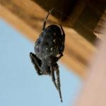 Eine schwarze Spinne im Spinnennetz auf dem Balkon