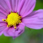 Bienenfreundliche Blumen für den Balkon: Eine pinke Blüte