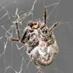 Eine große Spinne im Spinnennetz
