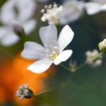 Weiße bienenfreundliche Blüten auf einem Stadtbalkon