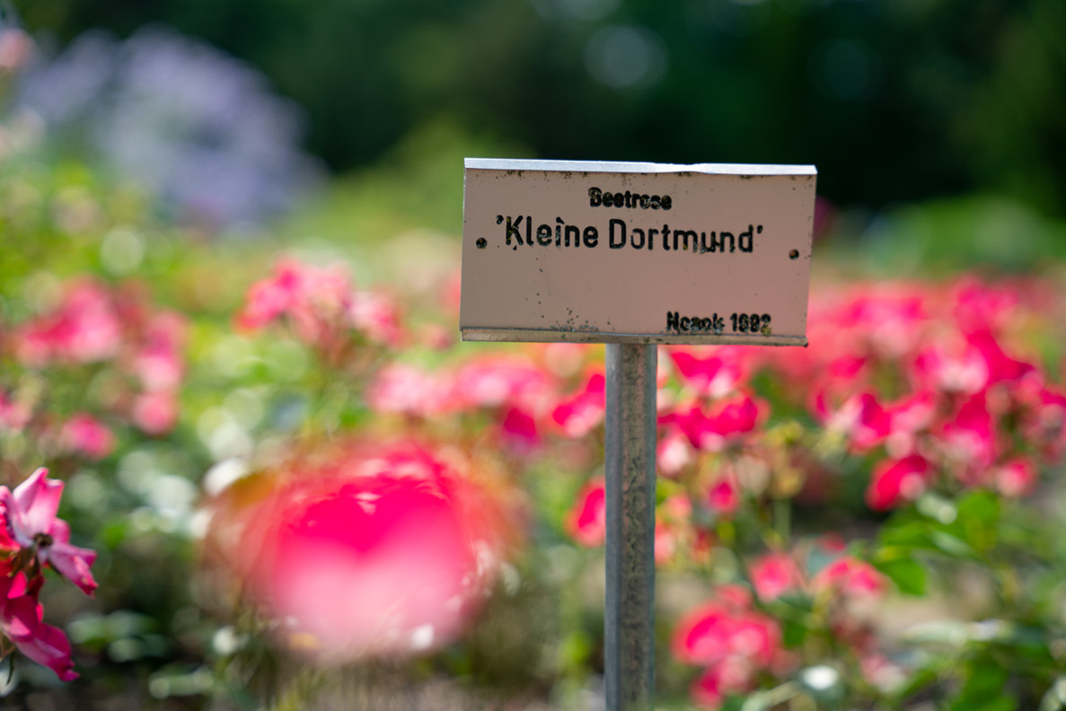 Beetrose: Die Kleine Dortmund im Rosenbeet