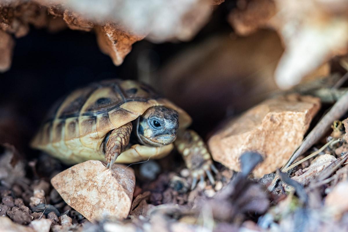 Grüße aus Kroatien! Eine Baby-Schildkröte in ihrem Versteck