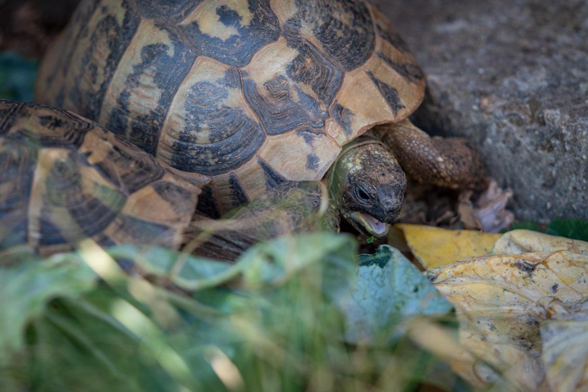 Zwei Landschildkröten beim Fressen in Kroatien