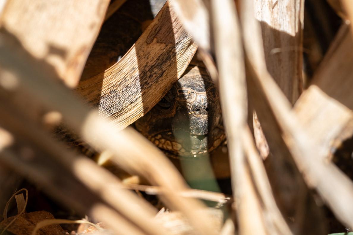 Eine Schildkröte in ihrem Versteck in Kroatien