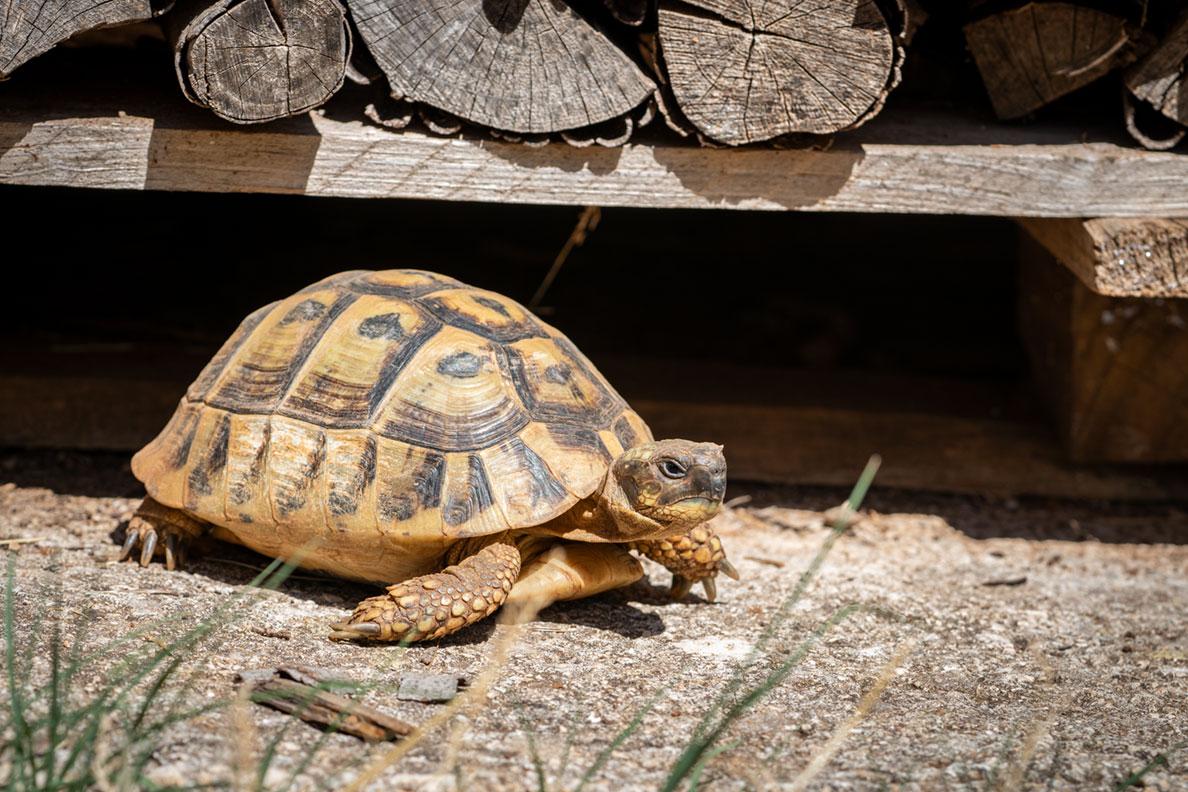 Eine griechische Landschildkröte beim Sonnen in Kroatien