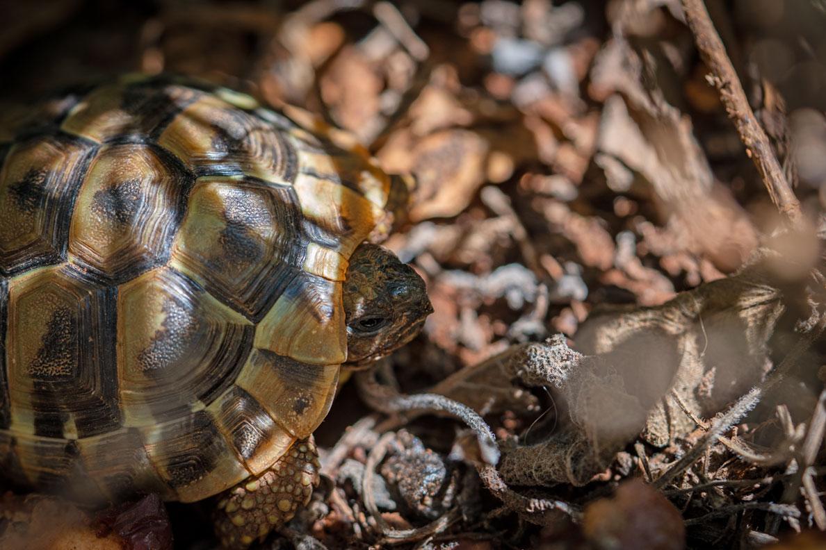 Eine kleine Landschildkröte in einem naturbelassenen Garten in Kroatien